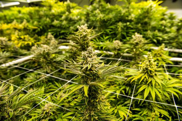Eaze's struggles reflect falling VC interest in cannabis startups – TechCrunch